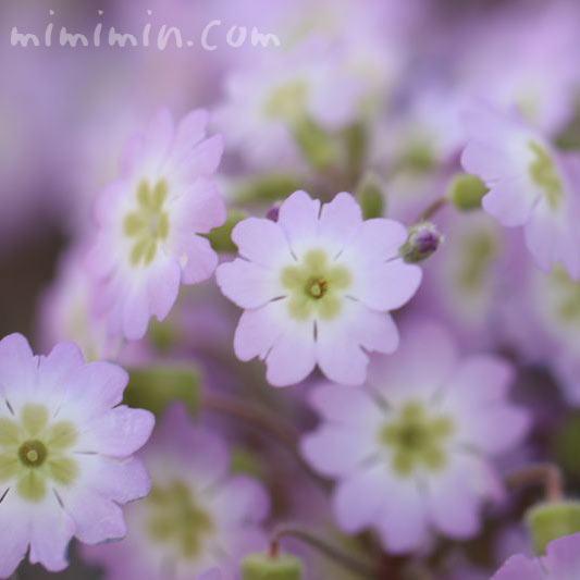 淡いピンクのプリムラ・マラコイデスの花(西洋桜草)お画像