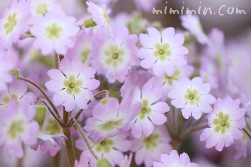 西洋桜草・薄ピンクの画像