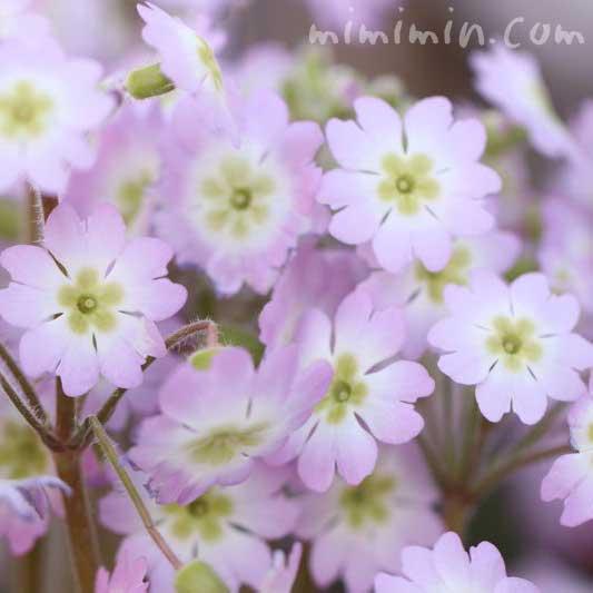 プリムラ・マラコイデスの花(西洋桜草)の写真