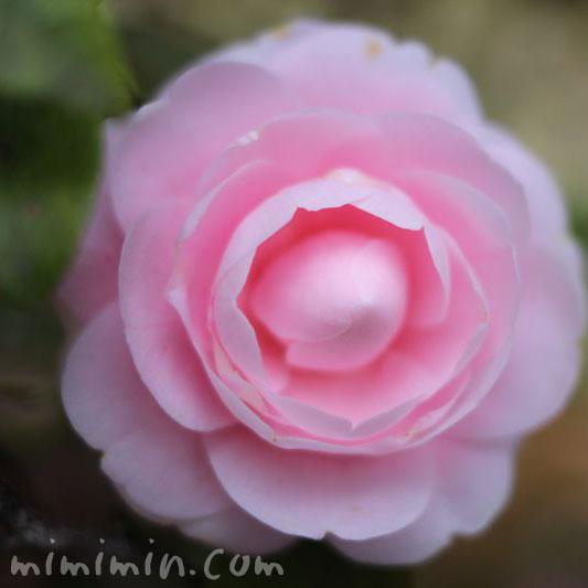 薄いピンク色の乙女椿(オトメツバキ)の花の画像