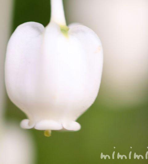 ドウダンツツジの花の写真・花言葉・名前の由来