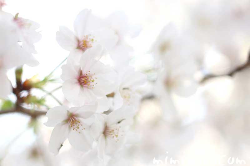 桜(ソメイヨシノ)の写真・花言葉・誕生花の画像