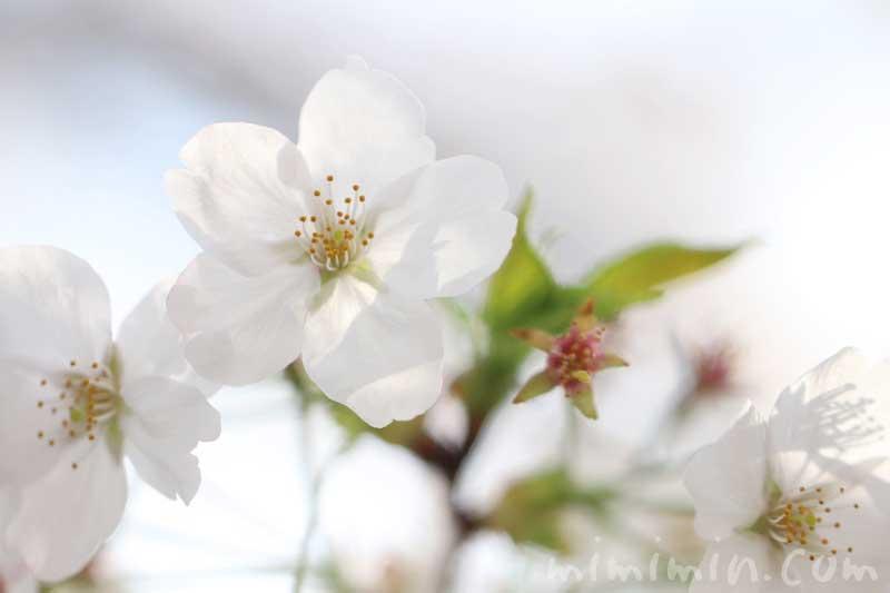 桜の写真・花言葉・誕生花の画像