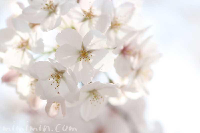 染井吉野の花の写真・桜の花言葉・誕生花
