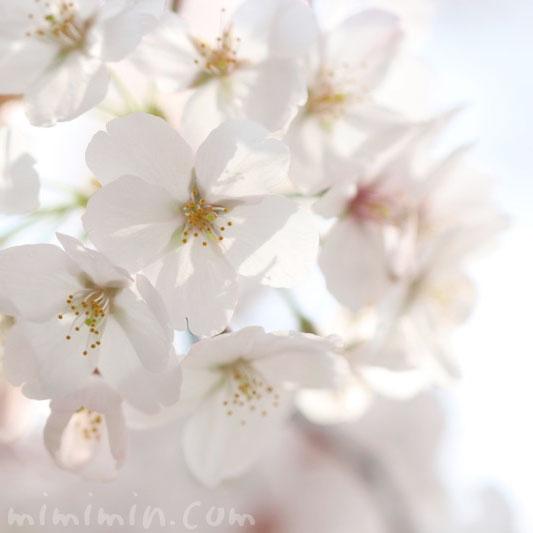 桜(ソメイヨシノ)の花の写真・花言葉・誕生花の画像