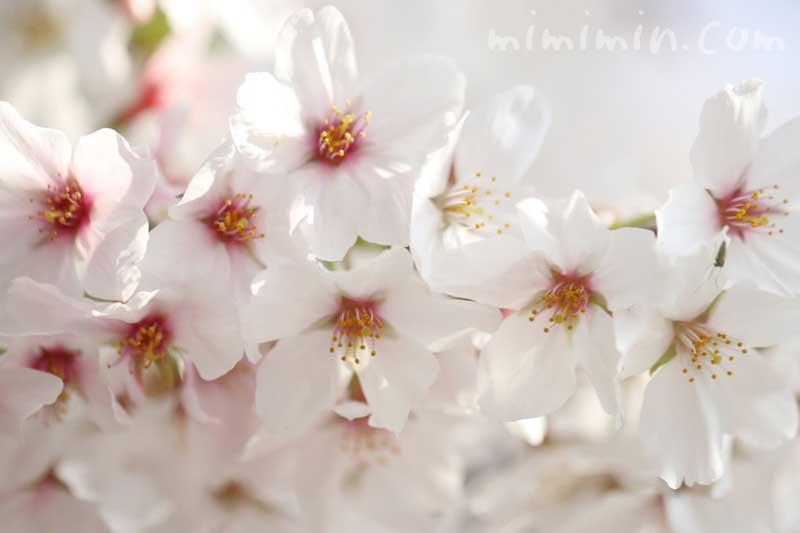 ソメイヨシノの花の写真・桜の花言葉の画像