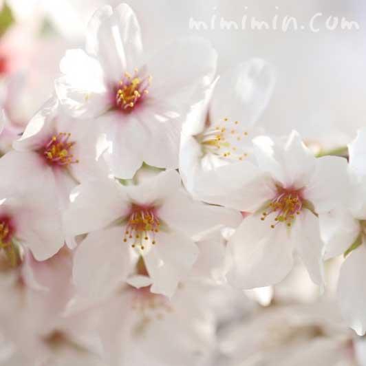 桜(染井吉野)の写真・花言葉の画像