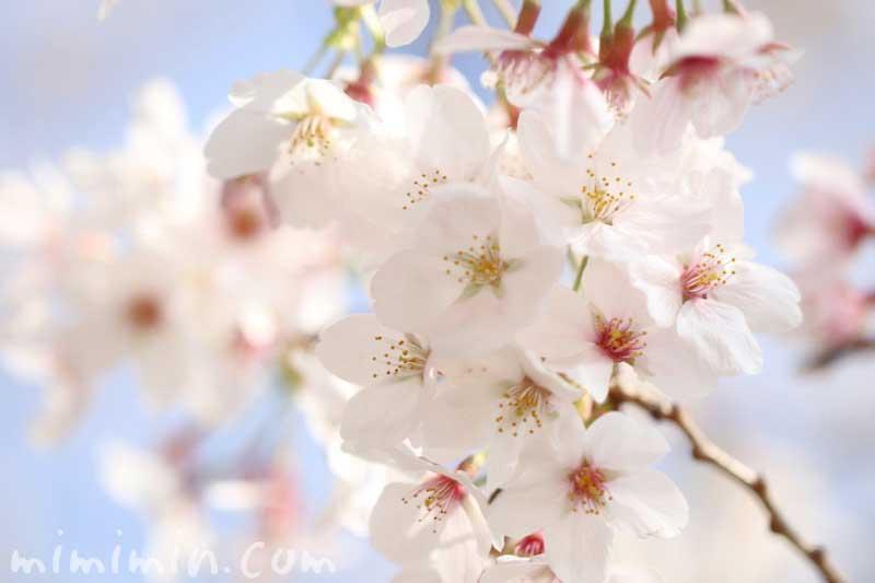 満開のメイヨシノの写真・桜の花言葉の画像