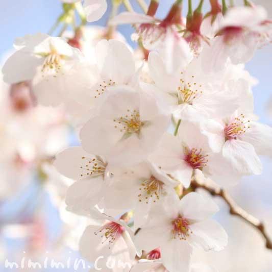 満開のソメイヨシノの花の写真・桜の花言葉の画像