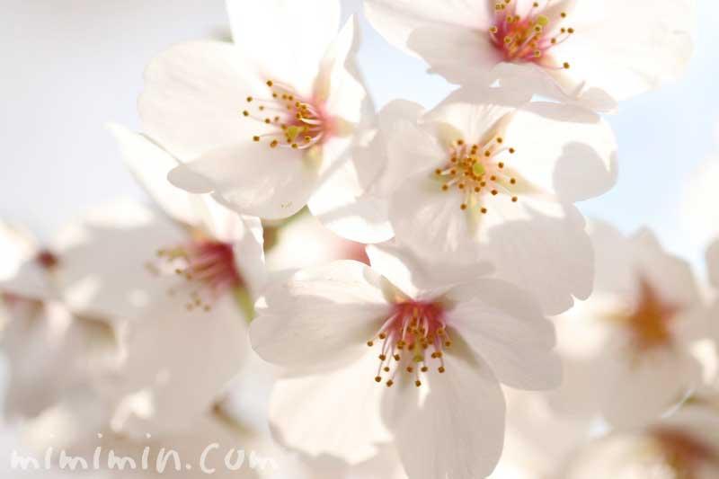 桜(染井吉野)の花の写真・花言葉の画像