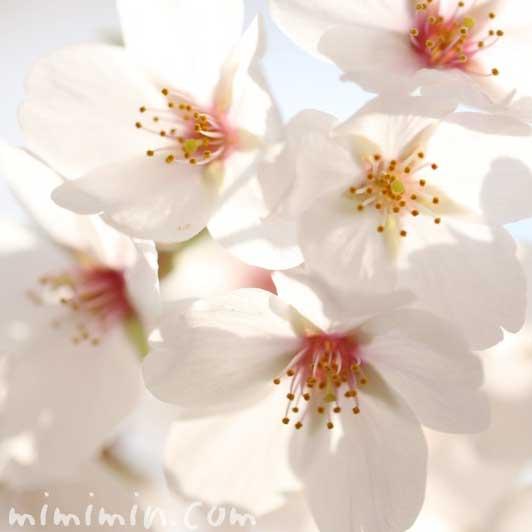 ソメイヨシノの花の写真とサクラの花言葉の画像
