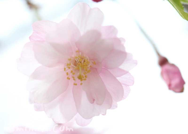 しだれ桜の花の写真と花言葉の画像
