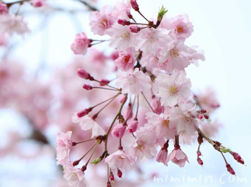 しだれ桜の写真と花言葉の画像