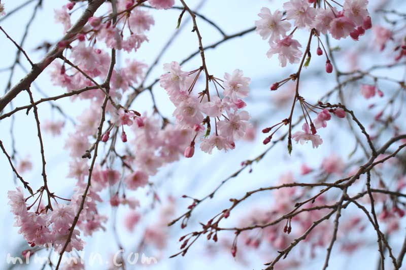 枝垂れ桜の写真・花言葉の画像