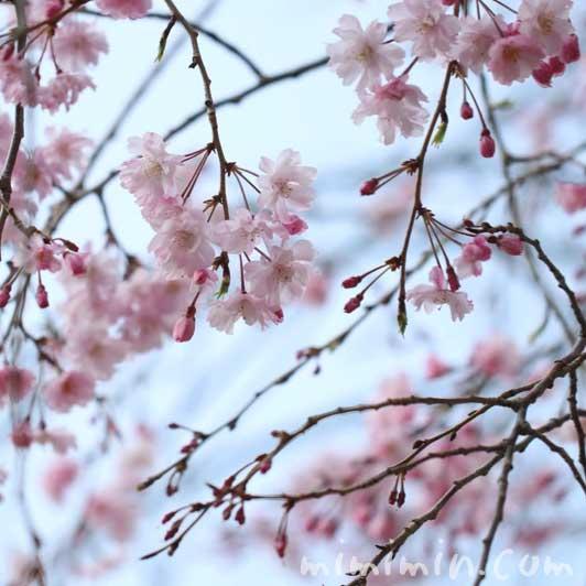 シダレザクラの花の写真・花言葉