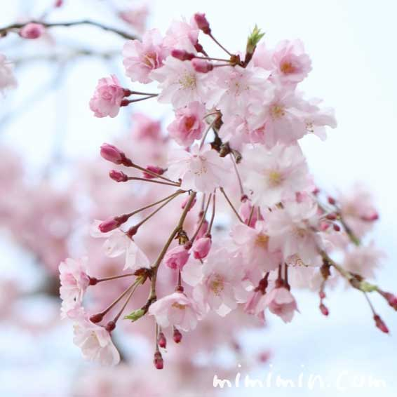 しだれ桜の花の写真と花言葉