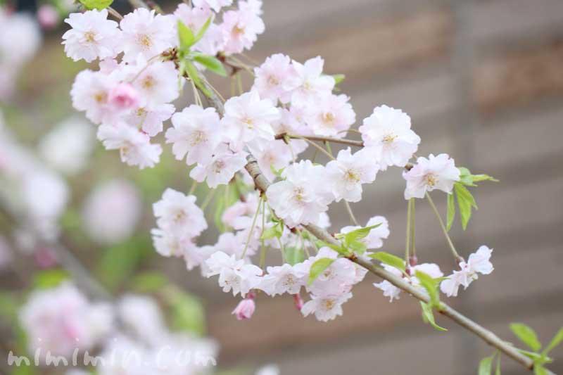 シダレザクラの花の写真・花言葉の画像