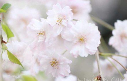 枝垂れ桜の花の写真・花言葉の画像