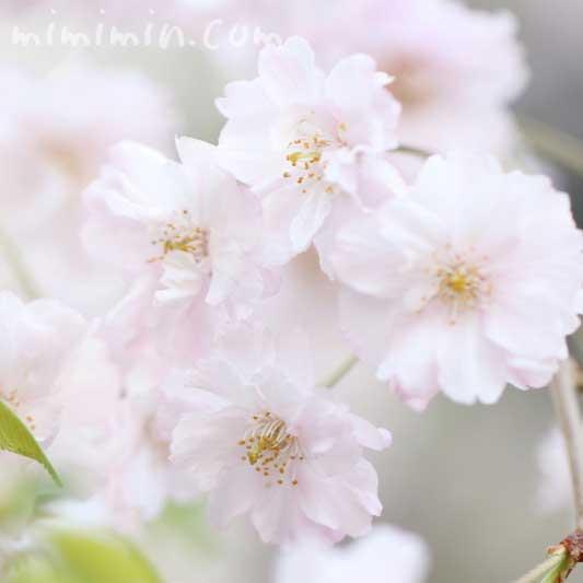枝垂桜の花の写真と花言葉の画像