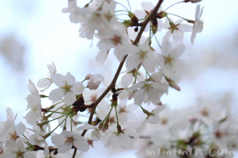 桜(ソメイヨシノ)の写真・花言葉・誕生花