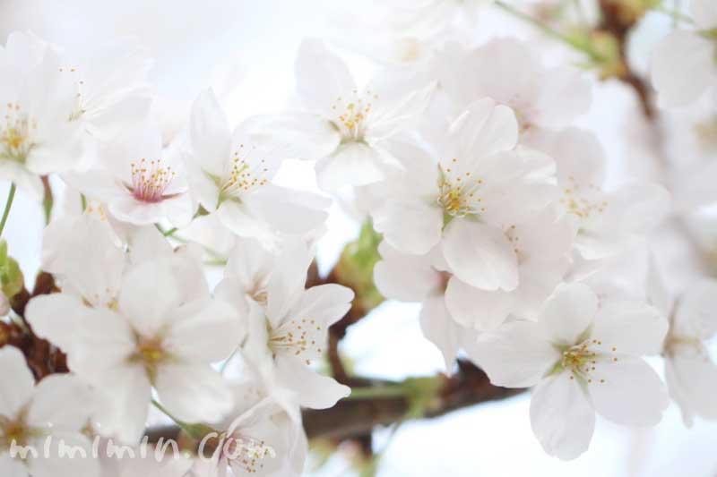 桜(ソメイヨシノ)の花の写真・花言葉・誕生花