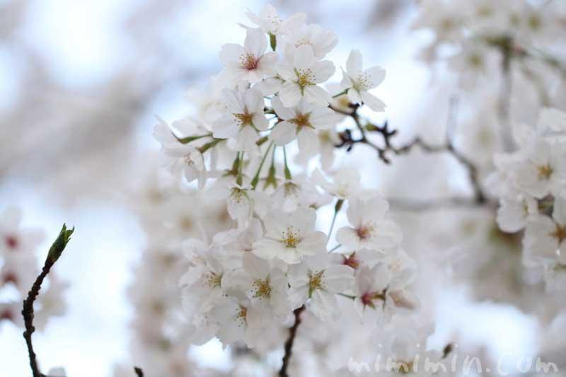 染井吉野の花の写真・桜の花言葉・誕生花の画像