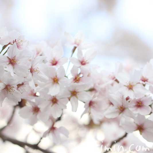 桜の花の写真・誕生花の画像