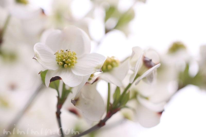 白い花水木の花の写真と花水木の花言葉の画像