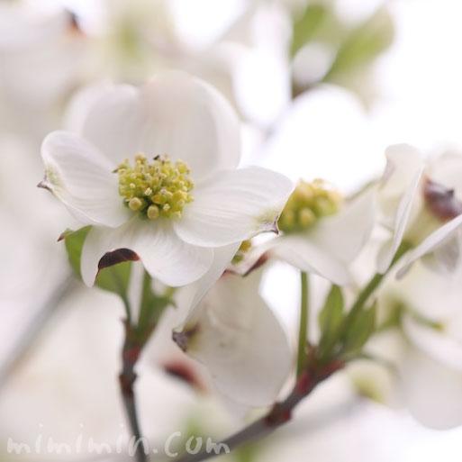 白い花水木の花の写真と花水木の花言葉