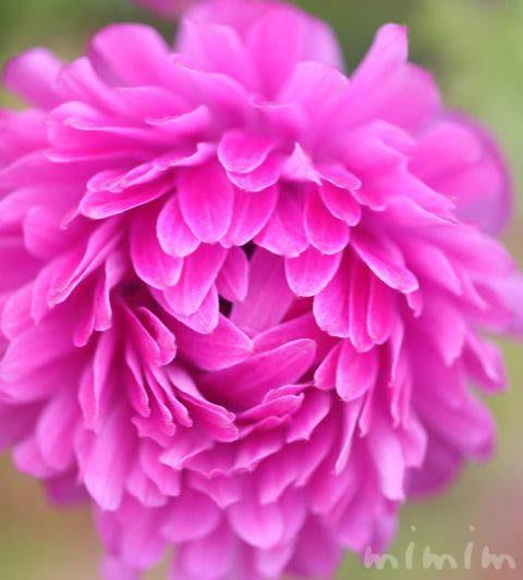 アネモネの写真・花言葉・名前の由来・誕生花