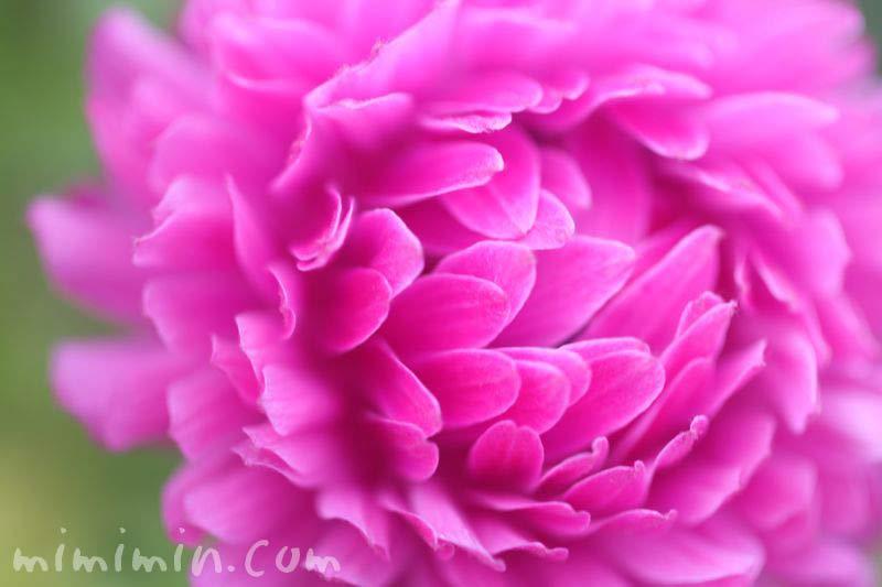 八重咲きのアネモネの花の画像