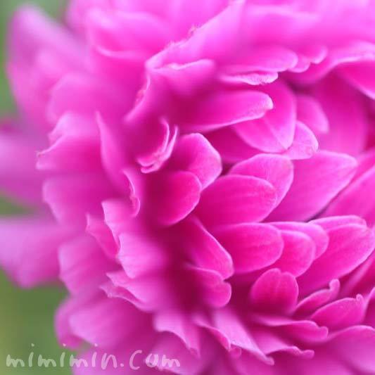 アネモネ 八重咲きの画像