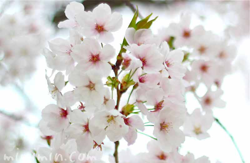 葉桜になりかけの桜の画像