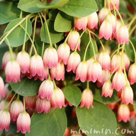 サラサドウダンツツジの花の写真