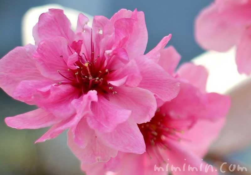 モモの花 ピンクの写真