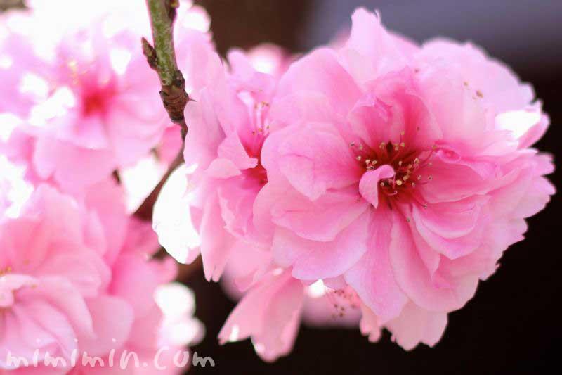 桃の花 ピンクの画像