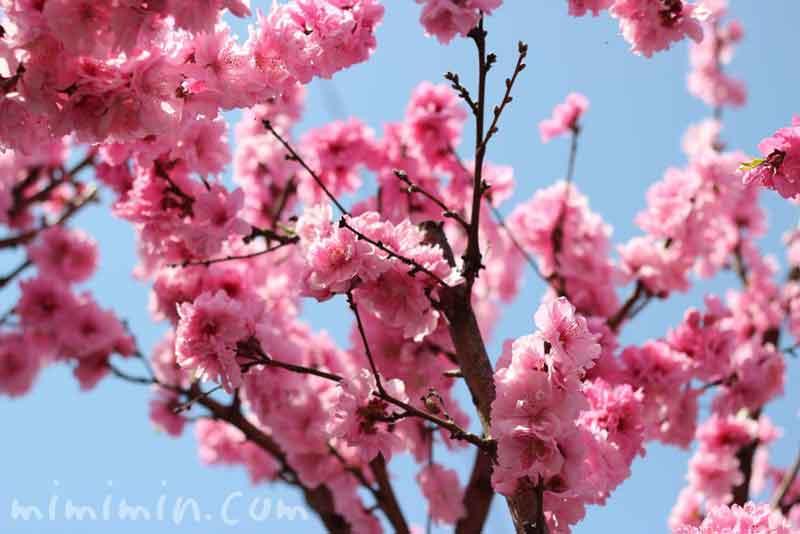 ピンク色の桃(モモ)の花 の写真