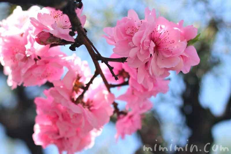 ピンク色の桃の花 の画像