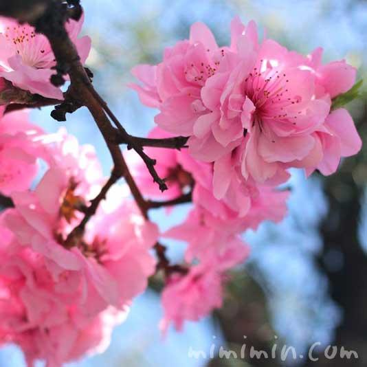 桃(モモ)の花の写真