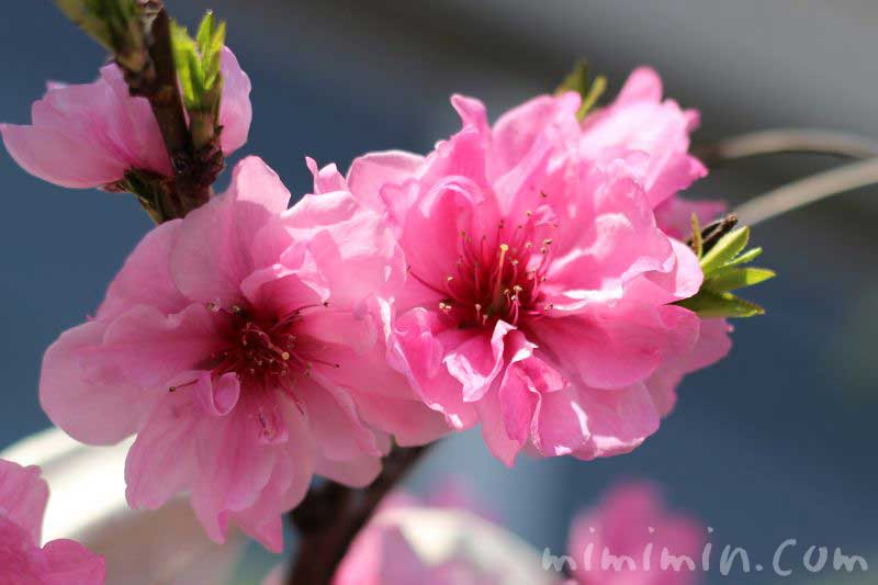 ピンク色のモモの花の画像