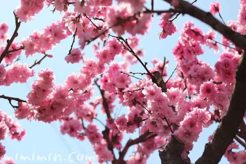 ピンクの桃の花の画像