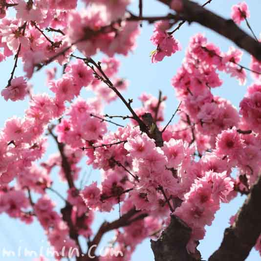 モモの花の画像
