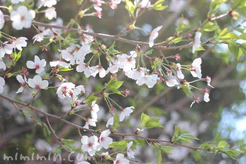 葉桜・染井吉野