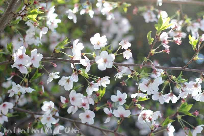 葉桜・ソメイヨシノ