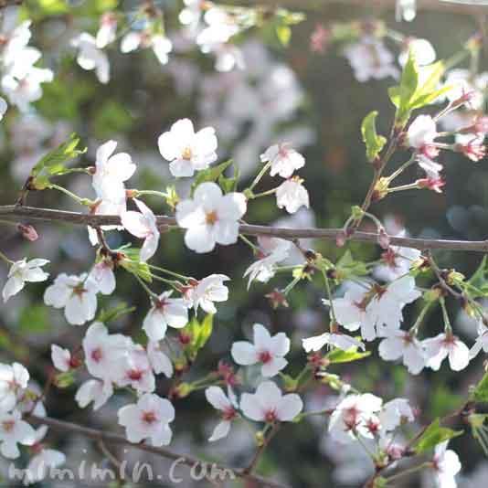 葉桜の画像