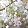 葉桜・染井吉野の花の写真