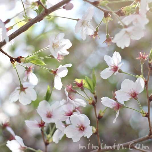 ソメイヨシノ・桜の写真