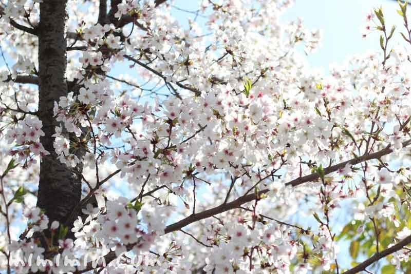 染井吉野・桜の花