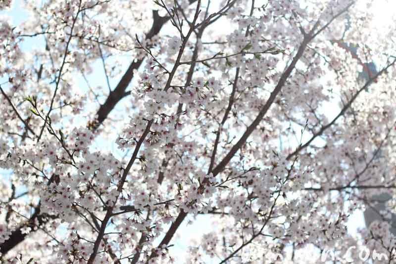 サクラの花の写真