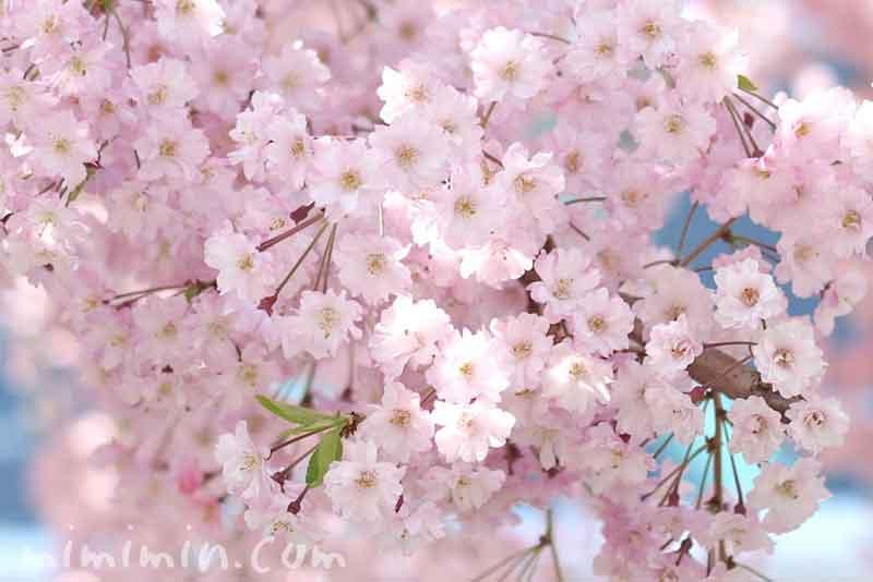 しだれ桜・垂桜の写真